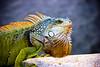 Big Green Lizard Portrait