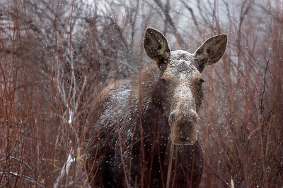 Moose in a Blizzard