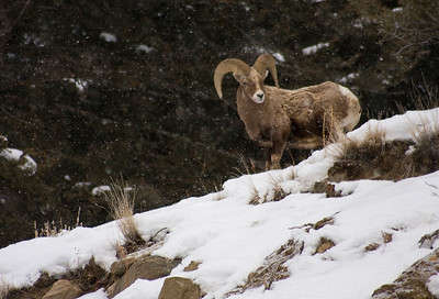 Big Horn Sheep in a Blizzard