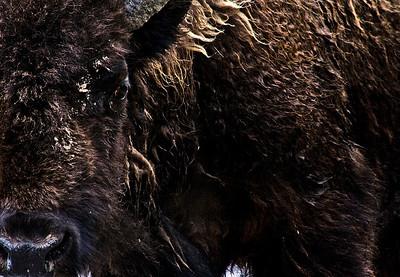 Buffalo In Traffic