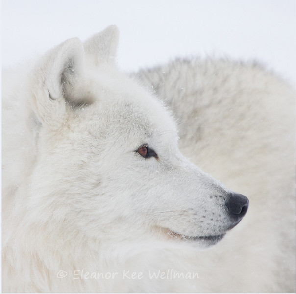 ARCTIC WOLF PORTRAIT<br /> <br /> SIZES<br /> 12 X 12<br /> 14 X 14<br /> 16 X 16<br /> 18 X 18  in even numbers up to 38 x 38