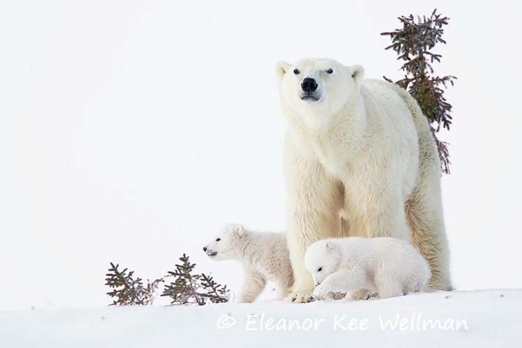 POLAR BEAR FAMILY<br /> <br /> SIZES<br /> <br /> 18 X 12<br /> 30 X 20<br /> 36 X 24<br /> 42 X 28<br /> 48 X 32