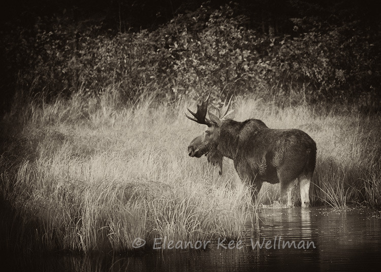 MISTY MORNING MOOSE - SEPIA<br /> <br /> SIZES<br /> <br /> 18 X 12<br /> 30 X 20<br /> 36 X 24<br /> 42 X 28<br /> 48 X 32