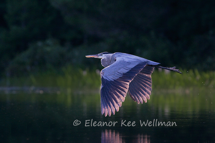 GREAT BLUE HERON FLYING IN EVENING LIGHT<br /> <br /> SIZES<br /> <br /> 18 X 12<br /> 30 X 20<br /> 36 X 24<br /> 42 X 28<br /> 48 X 32