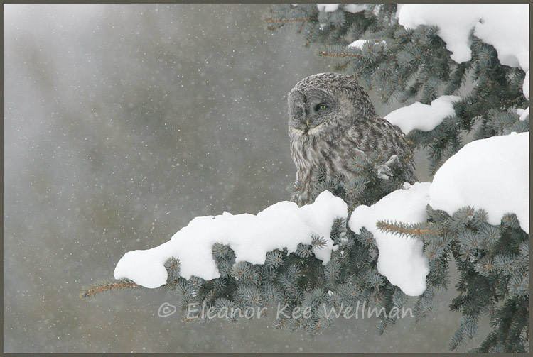 GREAT GRAY OWL IN SNOW<br /> <br /> SIZES<br /> <br /> 18 X 12<br /> 30 X 20<br /> 36 X 24<br /> 42 X 28<br /> 48 X 32