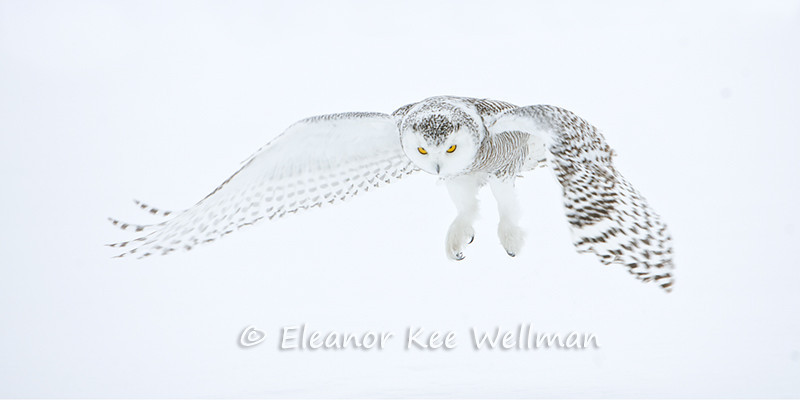 SNOWY OWL FLYING IN WHITE<br /> <br /> SIZES<br /> <br /> 26 X 12<br /> 48 X 22