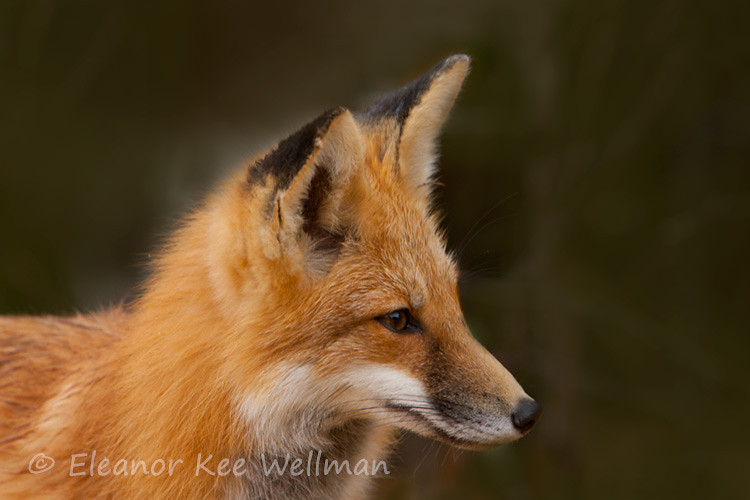 RED FOX PORTRAIT<br /> <br /> SIZES<br /> <br /> 18 X 12<br /> 20 X 30<br /> 36 X 24<br /> 40 X 30<br /> 48 X 36
