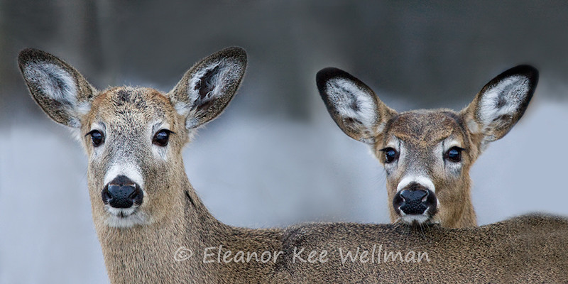 TWO DEER LOOKING<br /> <br /> SIZES<br /> <br /> 24 X 12 <br /> 38 X 16<br /> 42 X 18