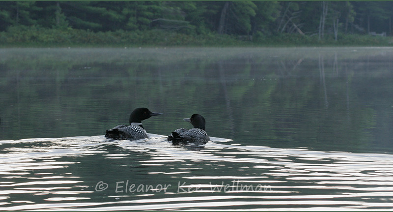 LOON PAIR ON MISTY LAKE<br /> <br /> SIZES<br /> <br /> 24 X 12<br /> 38 X 16<br /> 42 X 18