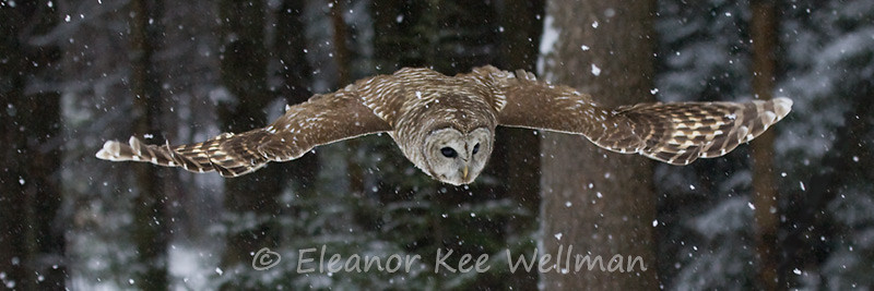 BARRED OWL SWOOPING DOWN<br /> <br /> SIZES<br /> <br /> 30 X 12<br /> 40 X 16<br /> 48 X 20