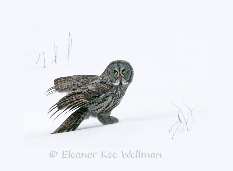 GREAT GRAY OWL ON SNOW<br /> <br /> SIZES<br /> <br /> 16 X 12<br /> 24 X 18<br /> 32 X 24<br /> 40 X 30<br /> 48 X 36
