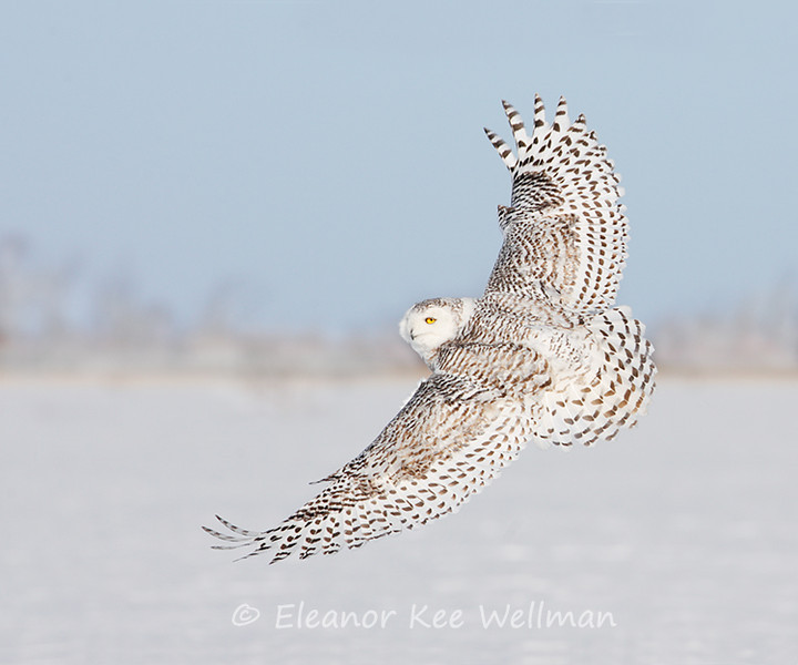 SNOWY OWL WING TOPS<br /> <br /> SIZES<br /> <br /> 18 X 12<br /> 30 X 20<br /> 36 X 24<br /> 42 X 28<br /> 48 X 32