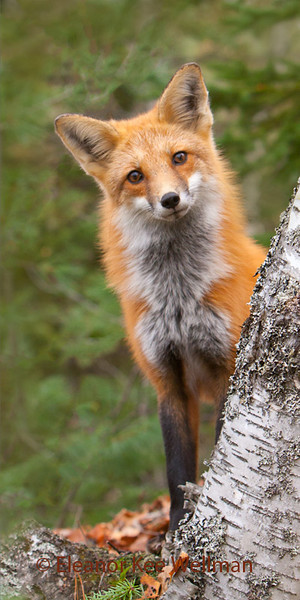 RED FOX WATCHING<br /> <br /> SIZES<br /> <br /> 12 X 24<br /> 16 X 38<br /> 18 X 42