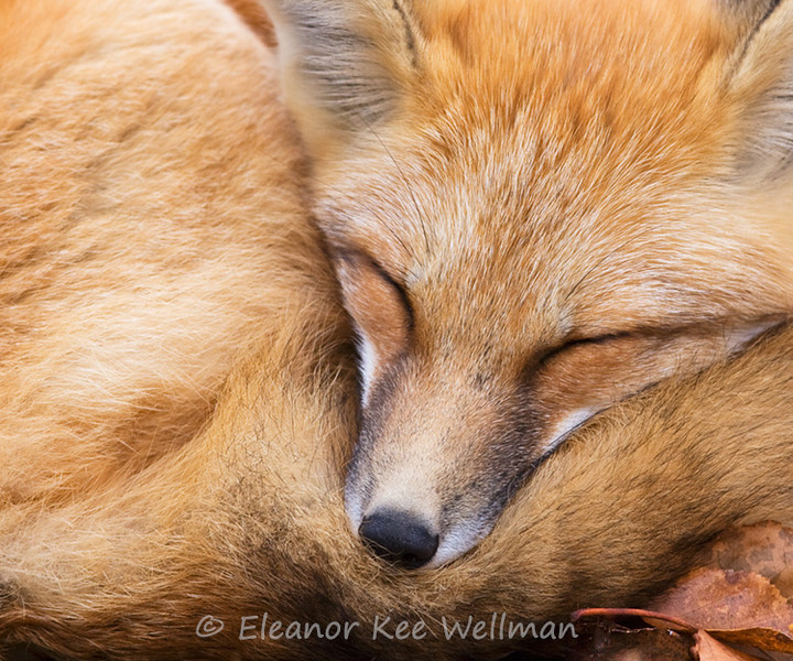 RED FOX SLEEPING<br /> <br /> SIZES<br /> <br /> 16 X 12<br /> 24 X 18<br /> 32 X 24<br /> 40 X 30<br /> 48 X 36