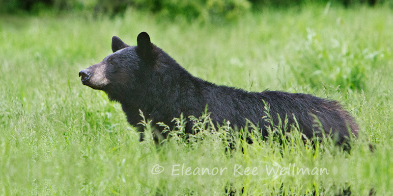 BLACK BEAR IN GRASS<br /> <br /> SIZES<br /> 24 X 12<br /> 38 X 16<br /> 42 X 18
