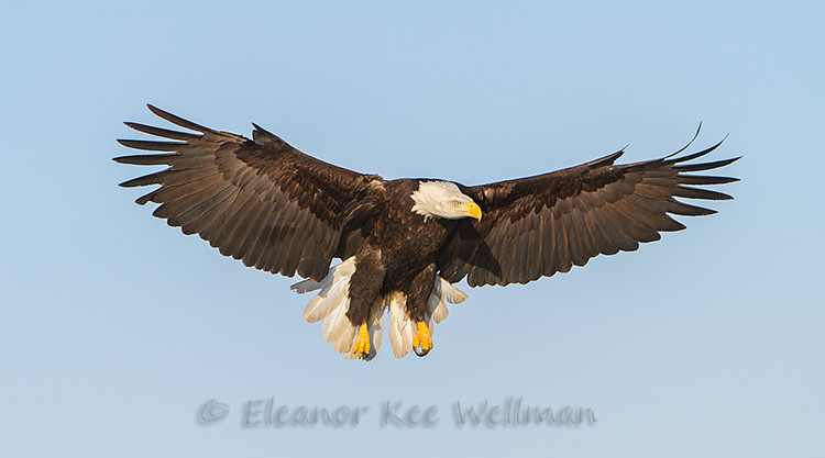 BALD EAGLE FLYING DOWN<br /> <br /> SIZES<br /> <br /> 18 X 12<br /> 30 X 20<br /> 36 X 24<br /> 42 X 28<br /> 48 X 32