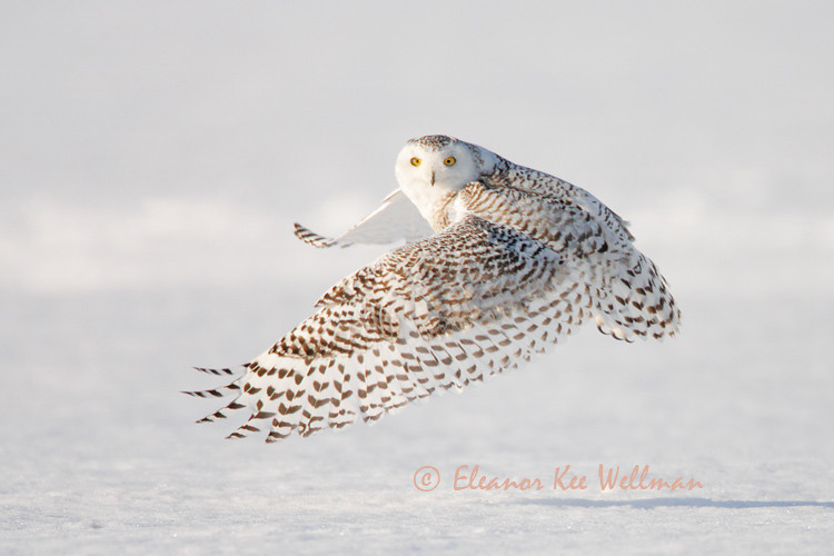 SNOWY OWL WING PATTERNS #2<br /> <br /> SIZES<br /> <br /> 18 X 12<br /> 30 X 20<br /> 36 X 24<br /> 42 X 28<br /> 48 X 32