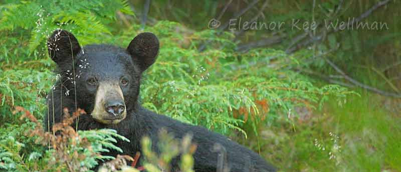 BLACK BEAR IN JUNIPERS - Narrow Crop<br /> <br /> SIZES<br /> 24 X 12<br /> 38 X 16<br /> 42 X 18