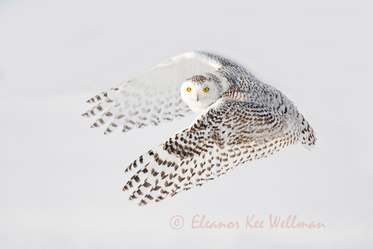 SNOWY OWL WING PATTERNS #1<br /> <br /> SIZE<br /> <br /> 18 X 12<br /> 30 X 20<br /> 36 X 24<br /> 42 X 28<br /> 48 X 32