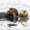 2016-08-23_Morro Bay_Otters_15.JPG