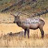 Elk_Yellowstone_2016-10-03_12.JPG