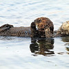 2016-08-23_Morro Bay_Otters_13.JPG