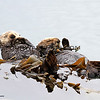 Sea Otters_Morro Bay_2014-06-19_9774C.JPG
