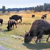 Bison_Yellowstone_2016-10-02_7.JPG