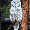 Great Grey Owl_Yellowstone_2016-10-03_3.JPG