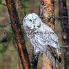 Great Grey Owl_Yellowstone_2016-10-03_13.JPG