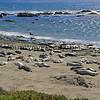Elephant Seals_San Simeon_2013-09-15_8816.JPG