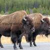 Bison_Yellowstone_2016-10-06_13.JPG