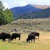 Bison_Yellowstone_2016-10-02_5.JPG