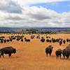 Bison_Yellowstone_2016-10-06_16.JPG