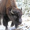 Bison_Yellowstone_2016-10-05_1.JPG