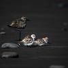 Pluvier argenté et 2 bécasseaux sanderling