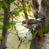 Oiseau blanc (Zosterops borbonicus)