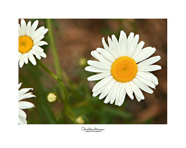 DAISY, Shasta Daisies from my yard are better known as Momo Jone's Daisies.