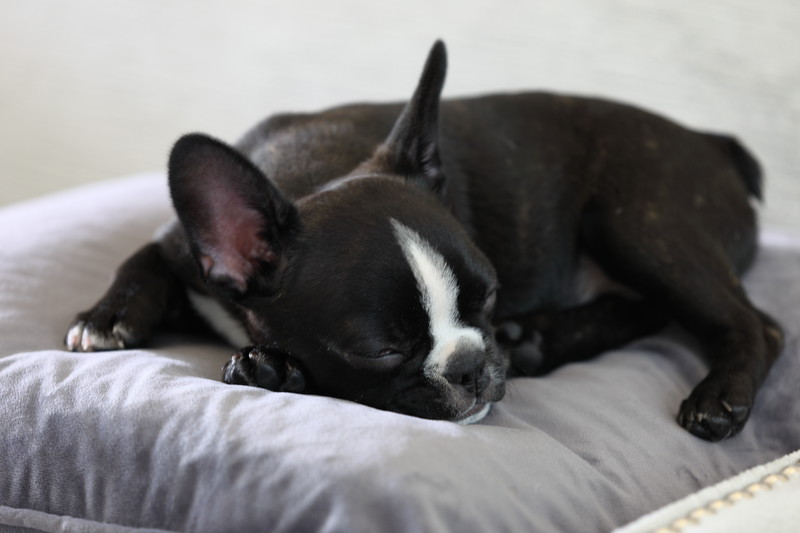 Finnegan Naps on a Pillow