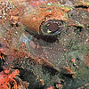 PAINTED SCORPIONFISH
