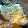 LEAF SCORPIONFISH...WHITE VARIATION
