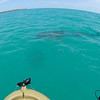 some good sighting of a nice size tiger shark, nearly as big as a kayack, circling around many times ! not that far from where people are swimming!