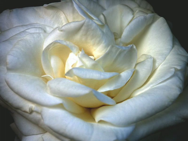 White Satin Rose in Late Afternoon Light
