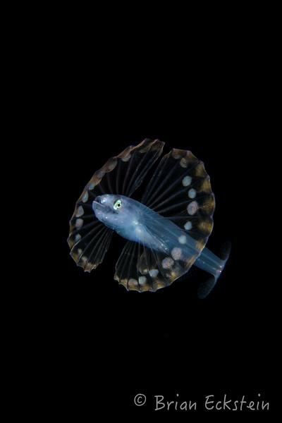 Tripodfish Larvae