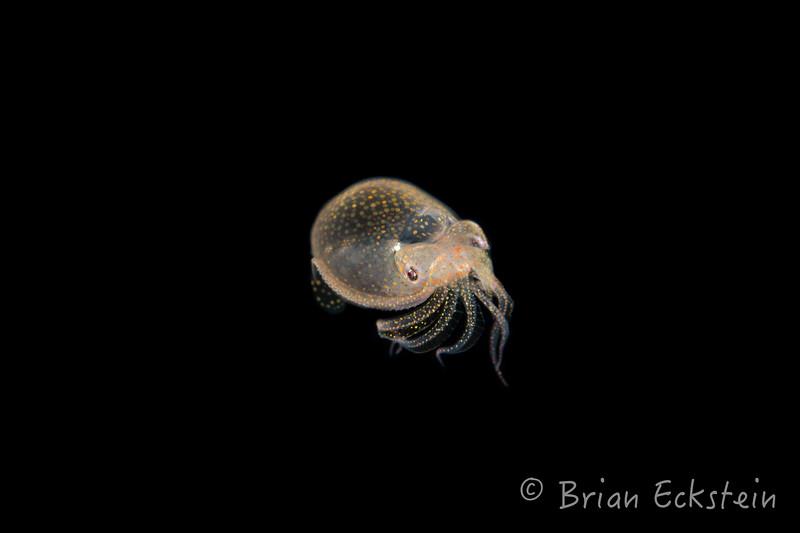 Larval Squid