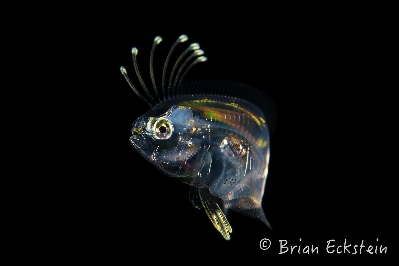 Flounder Larva, Syacium
