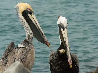 Pair of Atlantic Brown Pelicans
