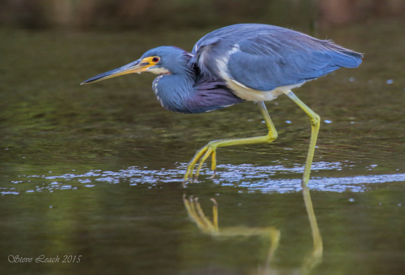 Adult TriColored Heron