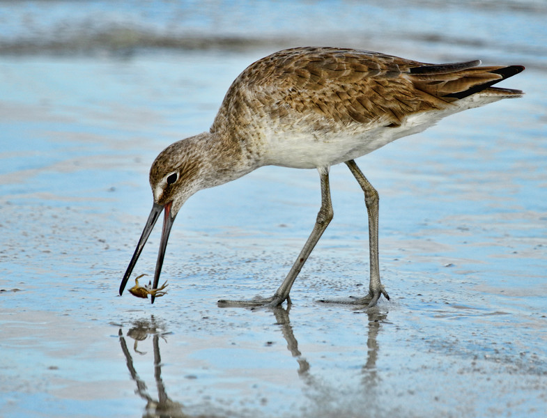 Willet crabbing on North Beach