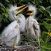 Baby White Egrets